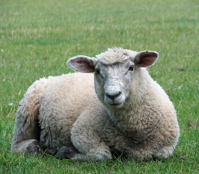 Sermon Feed My Sheep: What Makes For 'good' Corporate Worship?